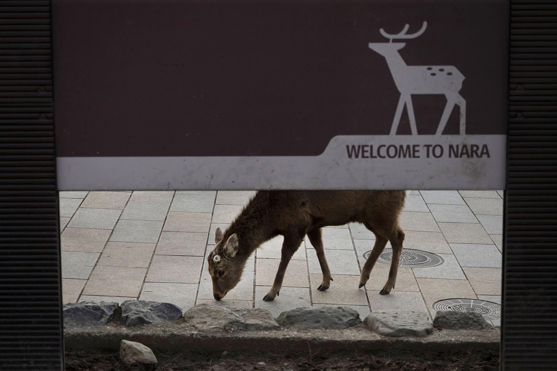 Un ciervo deambula por la zona comercial de Nara, Japón (AP Photo / Jae C. Hong)