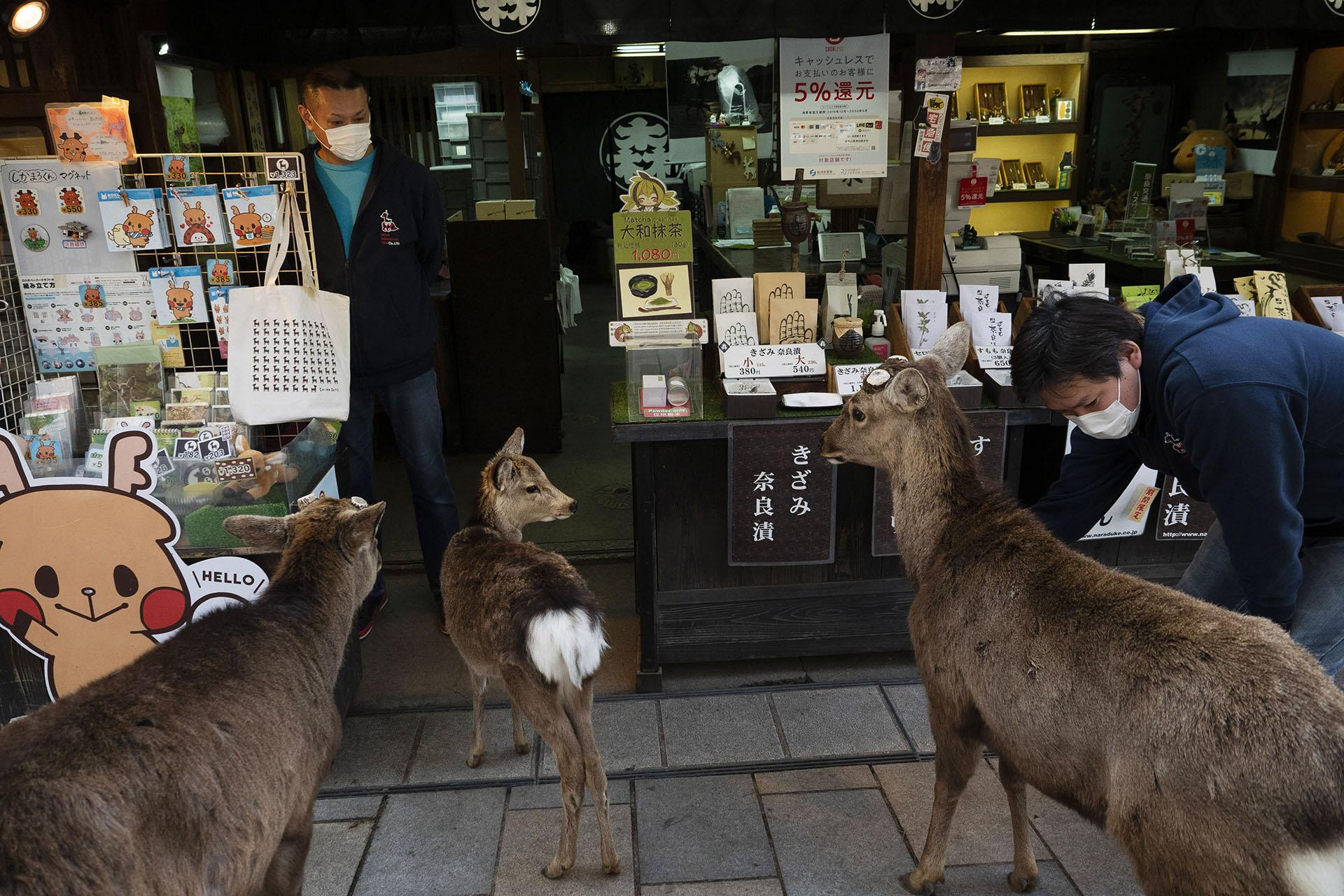 Ciervos se reúnen afuera de una tienda de recuerdos en busca de golosinas en Nara, Japón (Foto AP / Jae C. Hong)