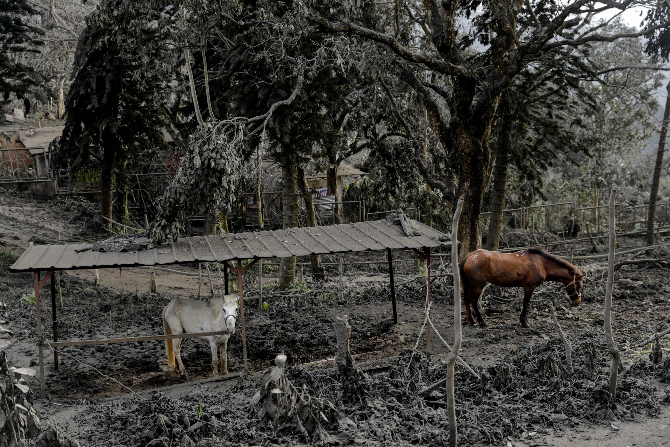 Los caballos alquilados para los turistas se quedan en un parque lleno de cenizas volcánicas y ramas caídas en la ciudad de Tagaytay, Filipinas, 14 de enero de 2020. REUTERS / Eloisa Lopez