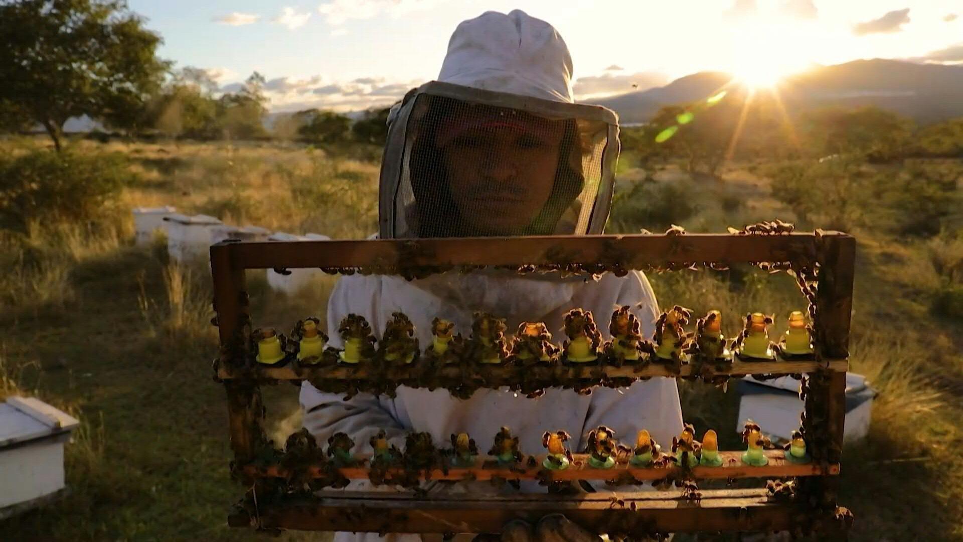 Cómo funcionan las colmenas inteligentes y los drones abeja para polinizar campos - Infobae
