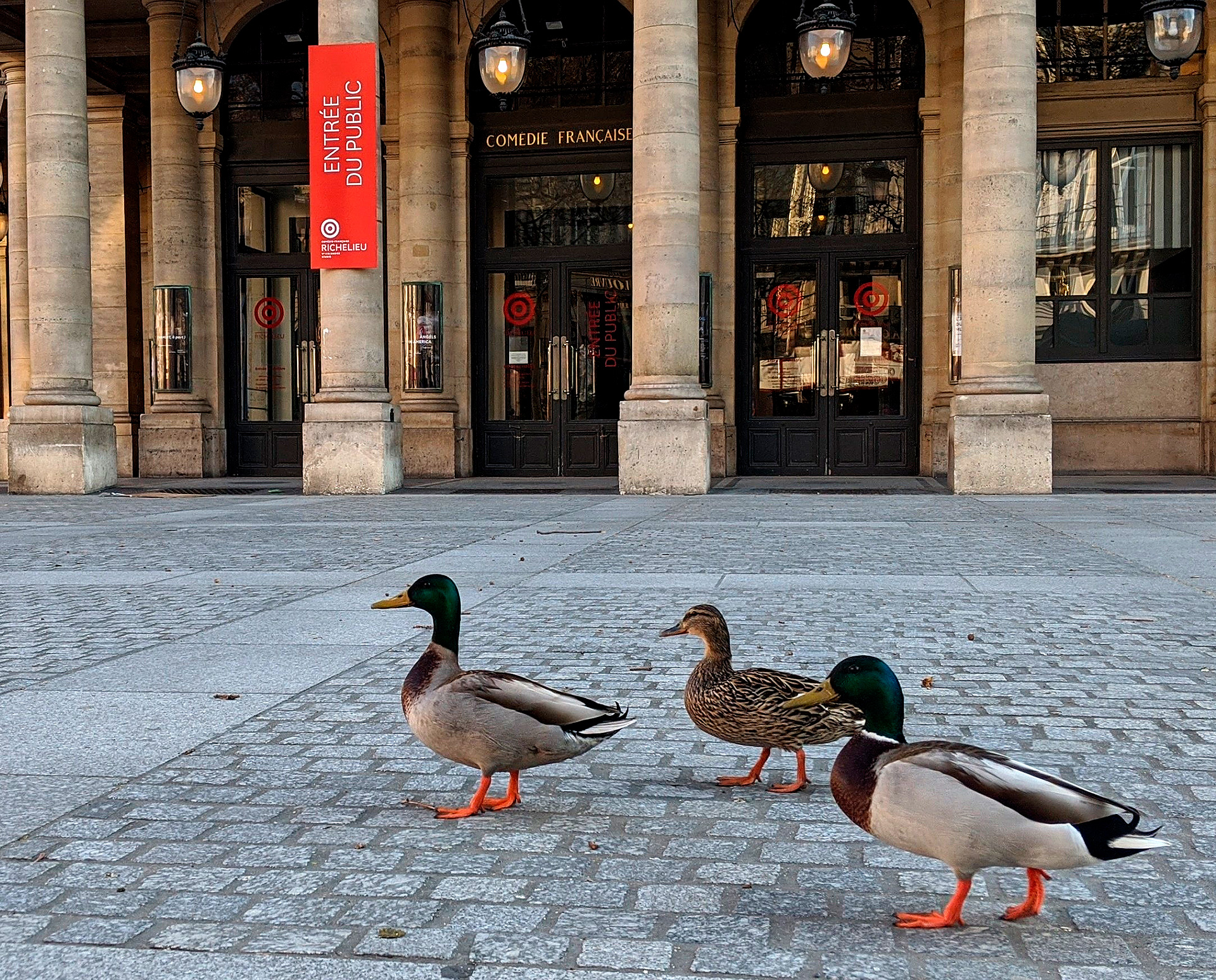 Una imagen inédita de tres patos caminando por las calles de París, Francia