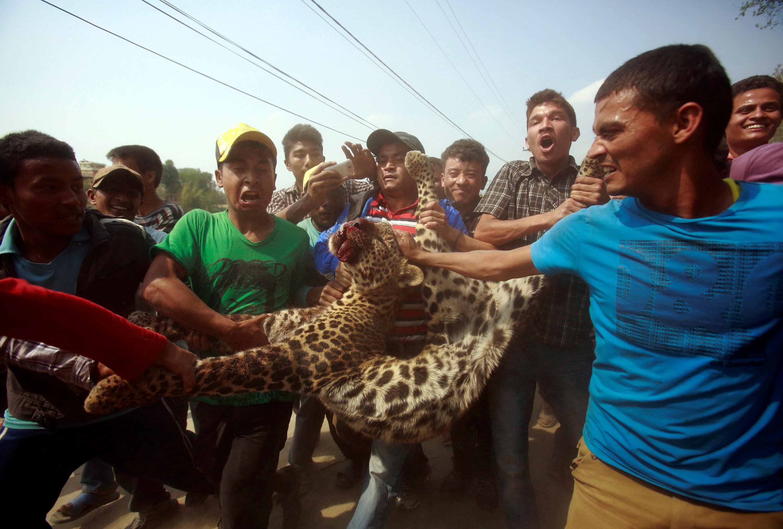 Lugareños llevan un leopardo muerto que fue asesinado después de vagar por la ciudad de Katmandú, Nepal, el 10 de abril de 2013 (REUTERS/Navesh Chitrakar)