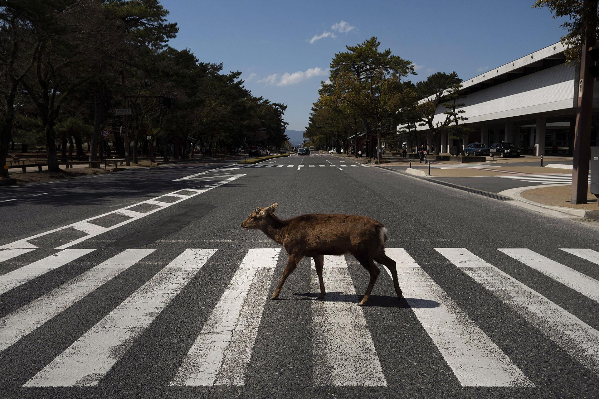 Un ciervo cruza un paso de peatones en Nara, Japón. Más de 1,000 ciervos deambulan libres en la antigua capital de Japón. A pesar de la disminución del turismo en la ciudad, estos animales salvajes están bien sin golosinas de los turistas, según un grupo de protección de venados (Foto AP / Jae C. Hong)