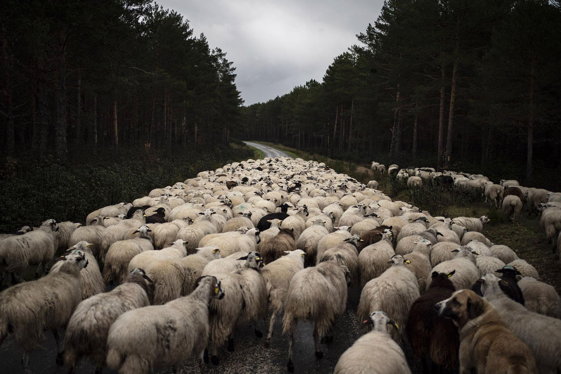 Un rebaño de ovejas se mueve en una carretera vacía cerca de Soria, España, el lunes 27 de abril de 2020. (Foto AP / Felipe Dana)