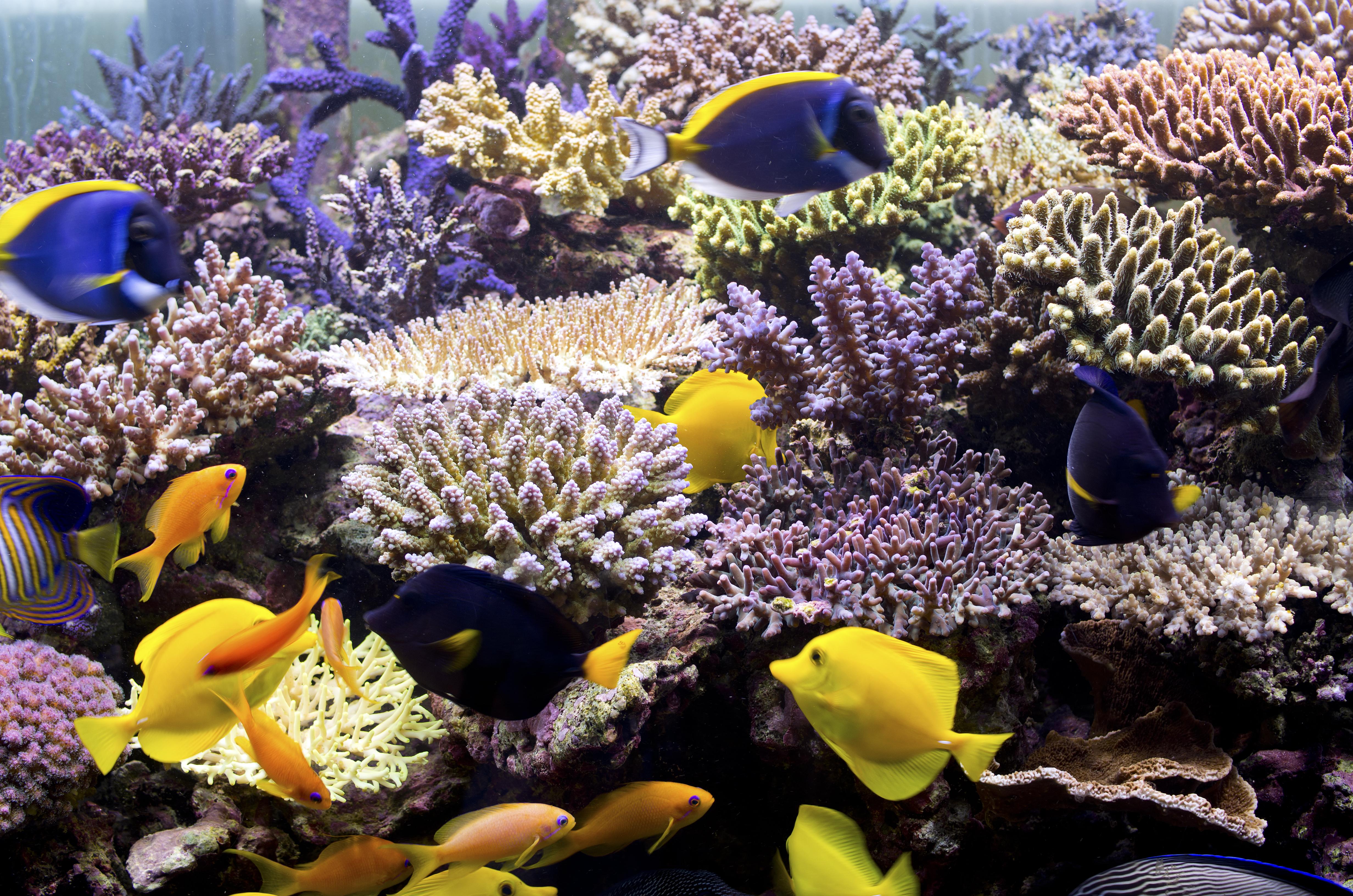 """Investigadores de la Universidad de Victoria aseguran que solo el 5% de los arrecifes de coral en el territorio australiano de Christmas Island sobrevivieron entre 2015 y 2016 debido al intenso calor de El Niño. El aumento de la temperatura del agua hace que los arrecifes de coral se """"blanqueen"""", lo que significa que los arrecifes están enfermos y pierden su color. Hoy, Christmas Island sigue abierta a los turistas, y muchos de los corales se han recuperado. El Niño es un período de calentamiento de la temperatura de la superficie del mar que puede """"influir en los patrones climáticos, las condiciones oceánicas y las pesquerías marinas en grandes partes del mundo durante un período prolongado de tiempo"""", según la Administración Nacional Oceánica y Atmosférica"""