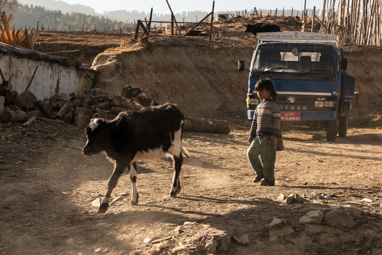 En el campo, los niños participan de las actividades laborales de la familia. En la imagen, una niña conduciendo a un yak a su corral