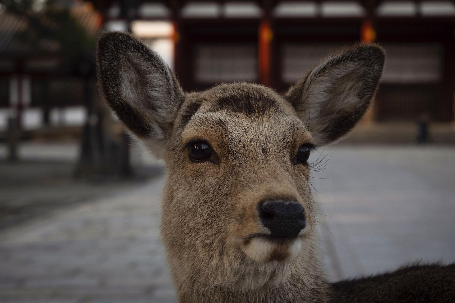 Un ciervo se para frente a una puerta afuera del templo Todaiji en Nara, Japón (Foto AP / Jae C. Hong)