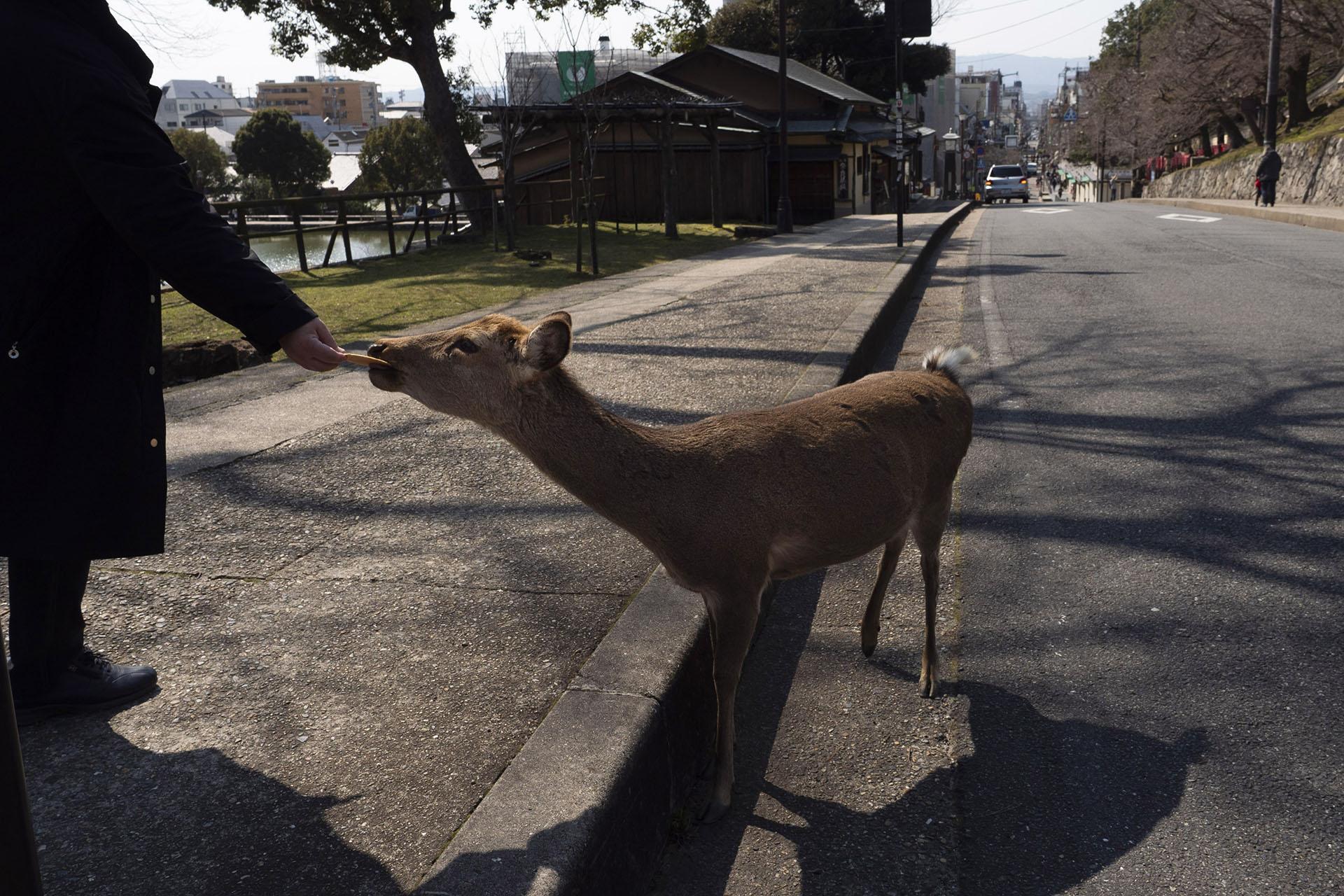 Un turista da de comer a un ciervo en Nara, Japón (AP Photo / Jae C. Hong)