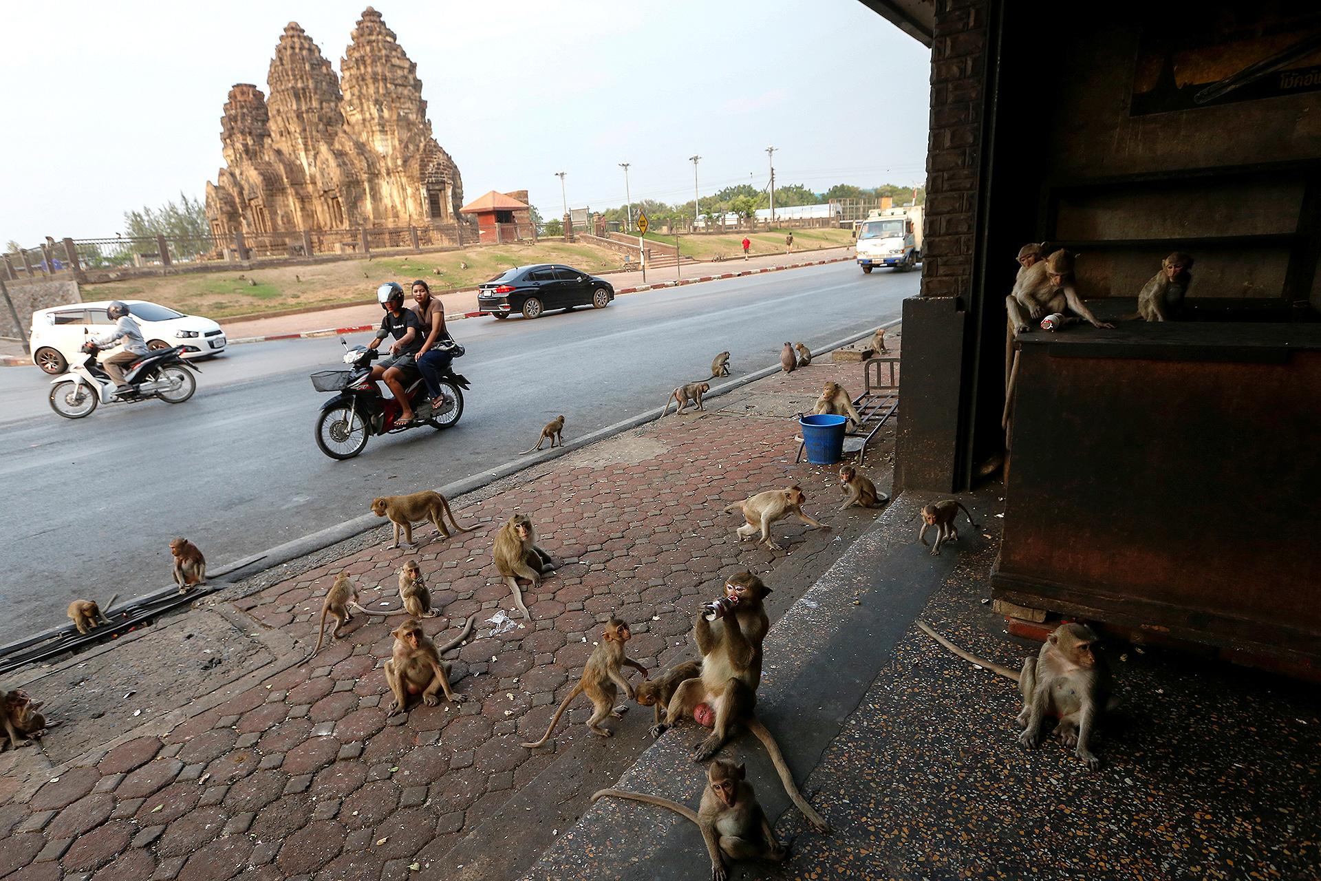 Los monos salieron a las calles de Tailandia, hambrientos