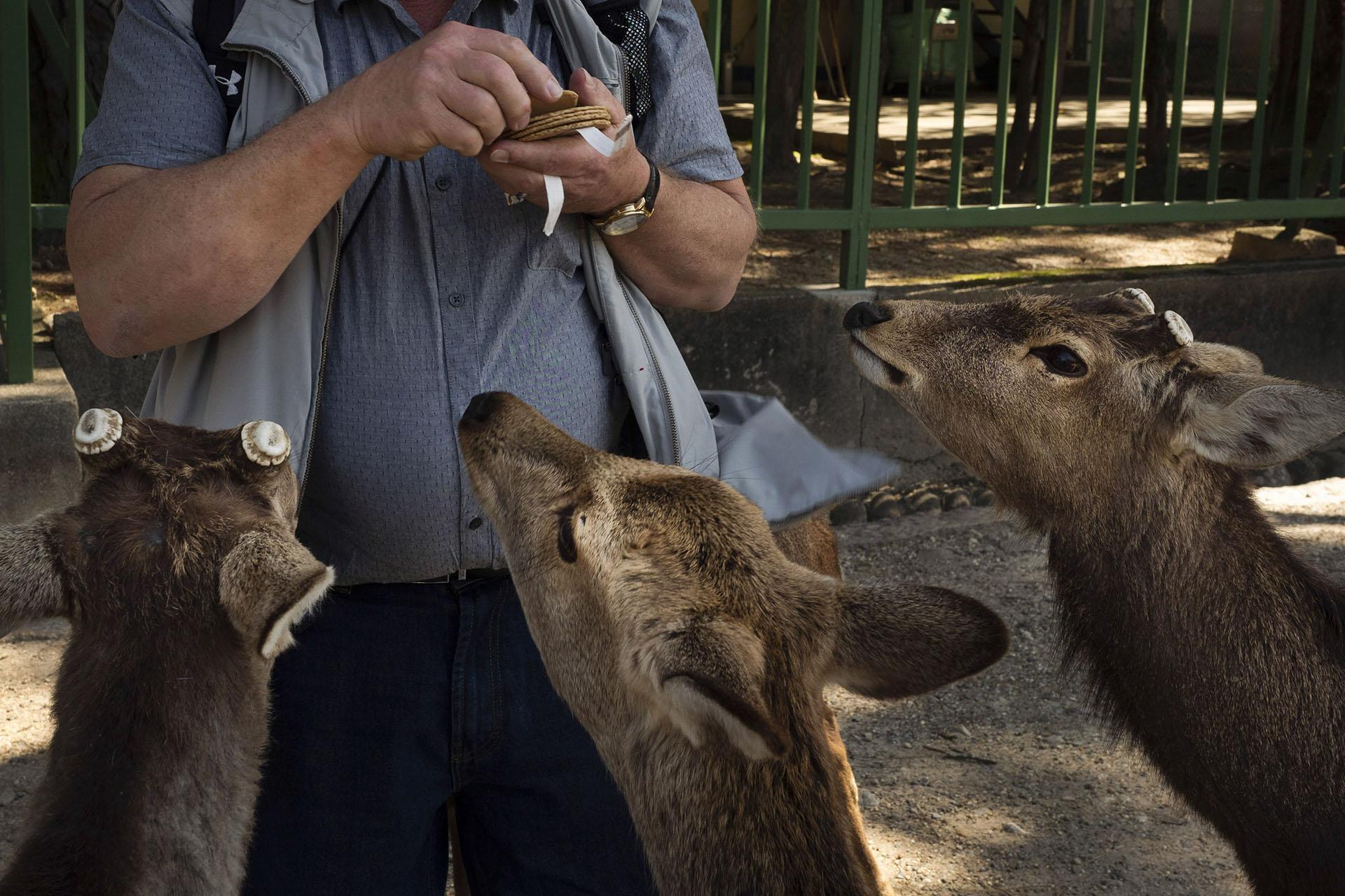 Un turista alimenta galletas, trata principalmente con harina de trigo y salvado de arroz, en Nara. Más de 1000 ciervos deambulan libres en la antigua capital de Japón. A pesar de la disminución del turismo en la ciudad, estos animales salvajes están bien sin golosinas de los turistas, según un grupo de protección de venados (Foto AP / Jae C. Hong)
