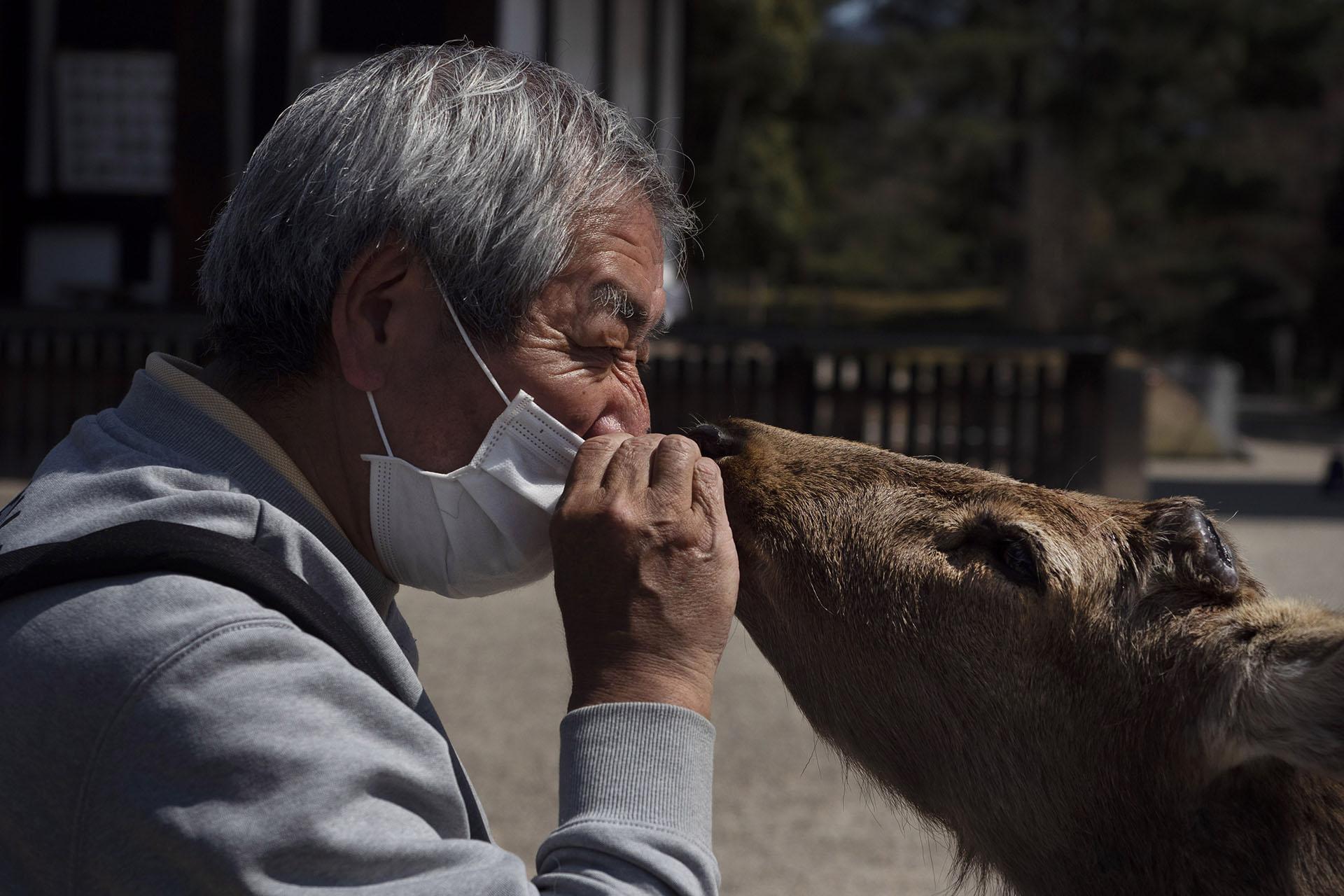 Un turista alimenta a unas queridas galletas de venado especialmente hechas mientras visita un templo en Nara, Japón (Foto AP / Jae C. Hong)