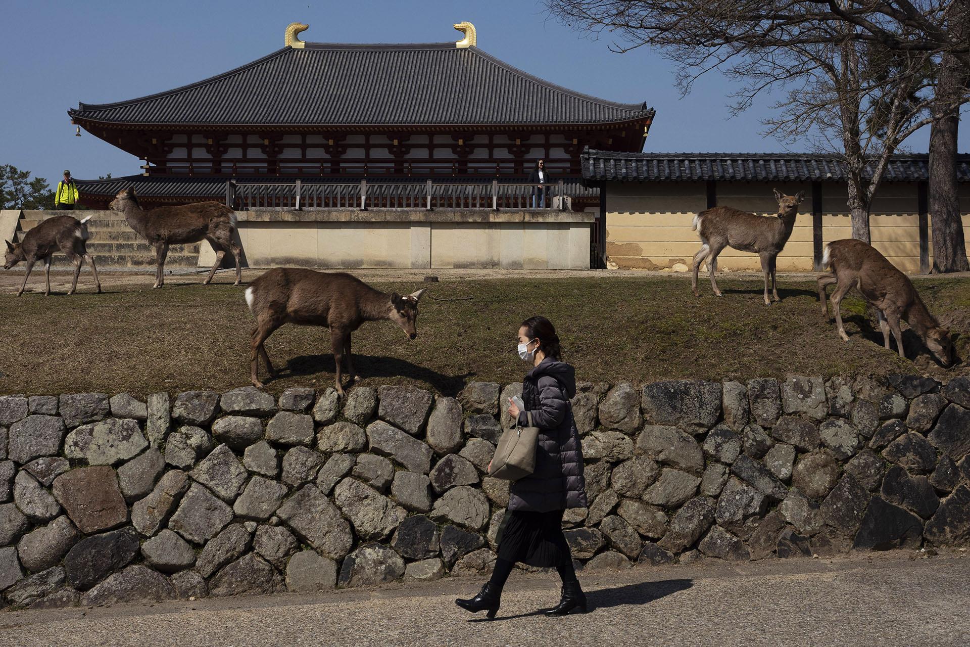 Una mujer pasa junto a los ciervos que pastan en el césped del templo Kofukuji en Nara, Japón (Foto AP / Jae C. Hong)