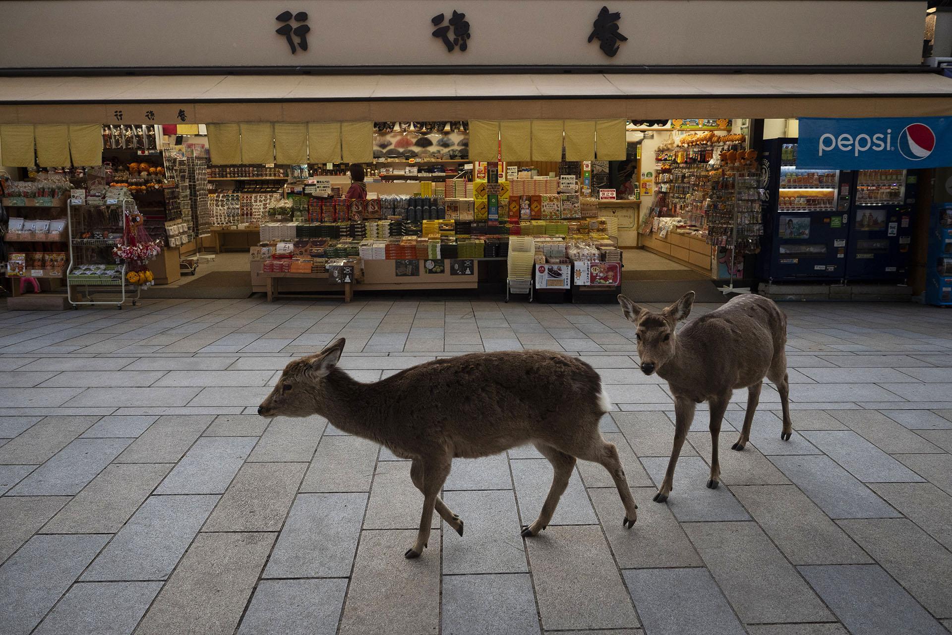 Dos ciervos pasan por una tienda de recuerdos cerca del templo Todaiji en Nara, Japón (Foto AP / Jae C. Hong)