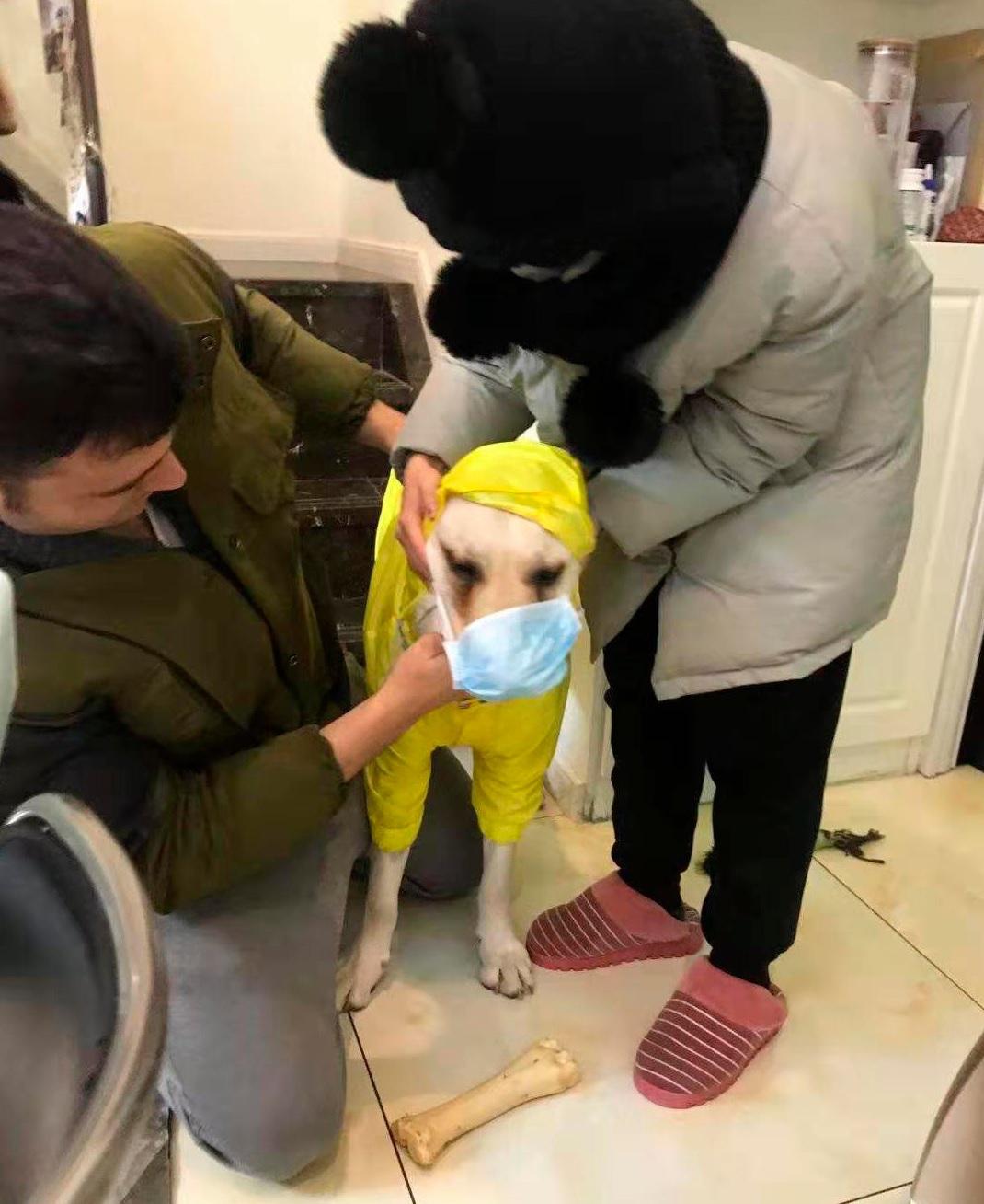 Chubby, un labrador, es vestida con un traje casi completo antes de pasear en Wuhan (AP)
