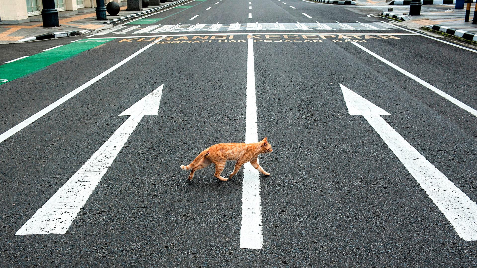 Los gatos han recuperado las calles en varias de las ciudades paralizadas por la pandemia. En este caso, un gato pasea por las calles de Indonesia