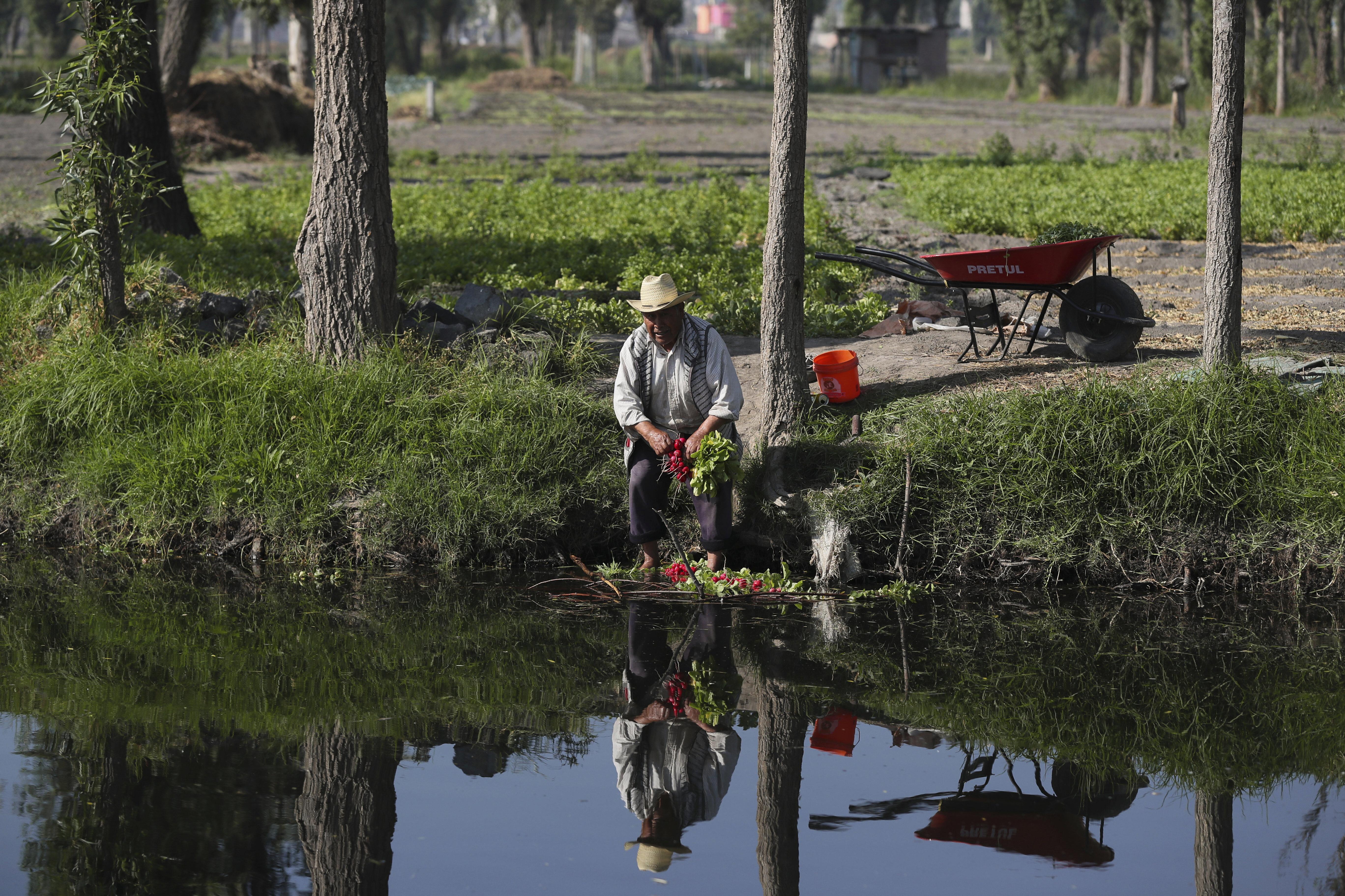 Un agricultor limpia la remolacha roja en una granja en San Andrés Mixquic, a las afueras de la Ciudad de México, el lunes 30 de marzo de 2020, en medio de la propagación mundial del nuevo coronavirus.