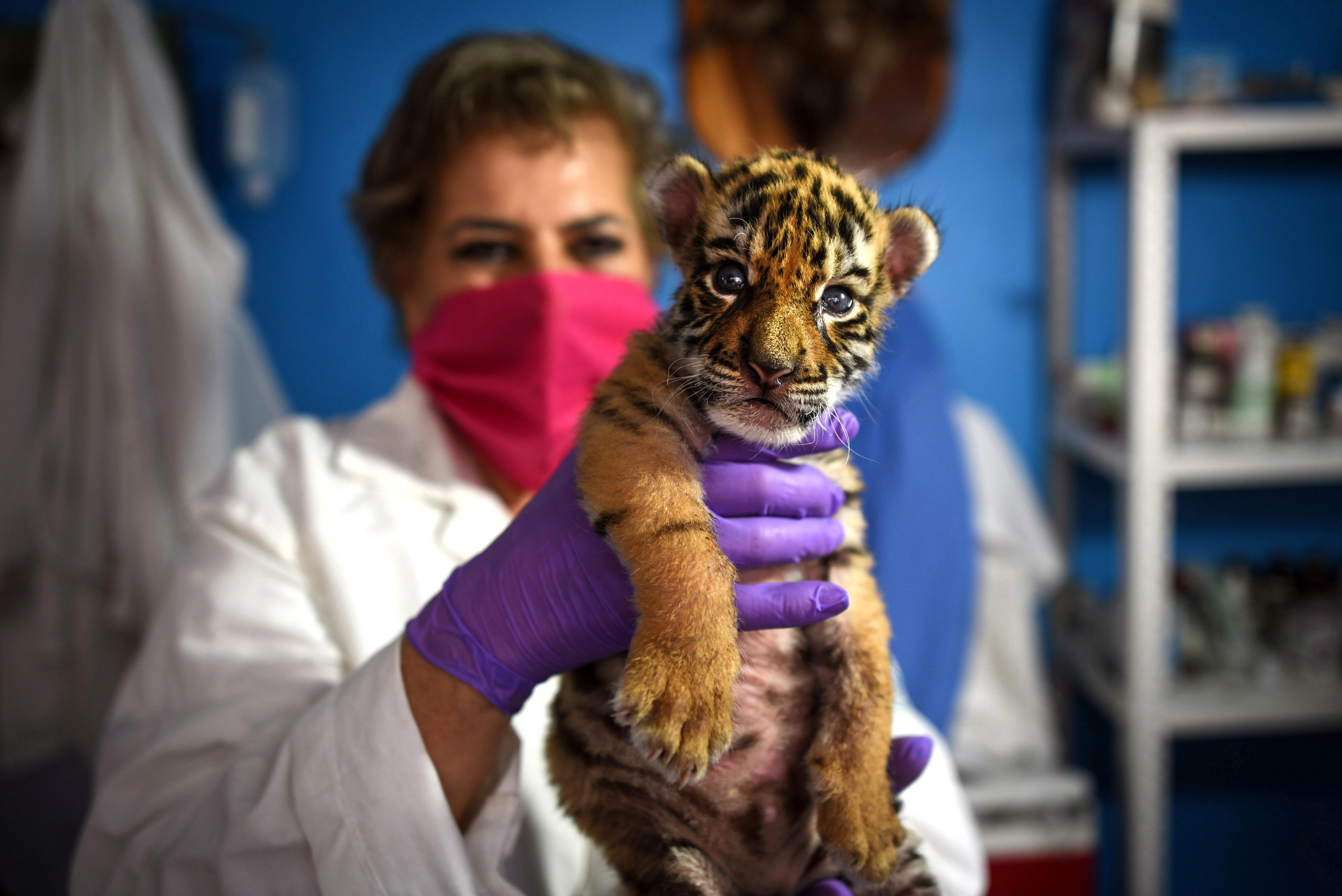 Un veterinario sostiene un cachorro de tigre de Bengala recién nacido llamado