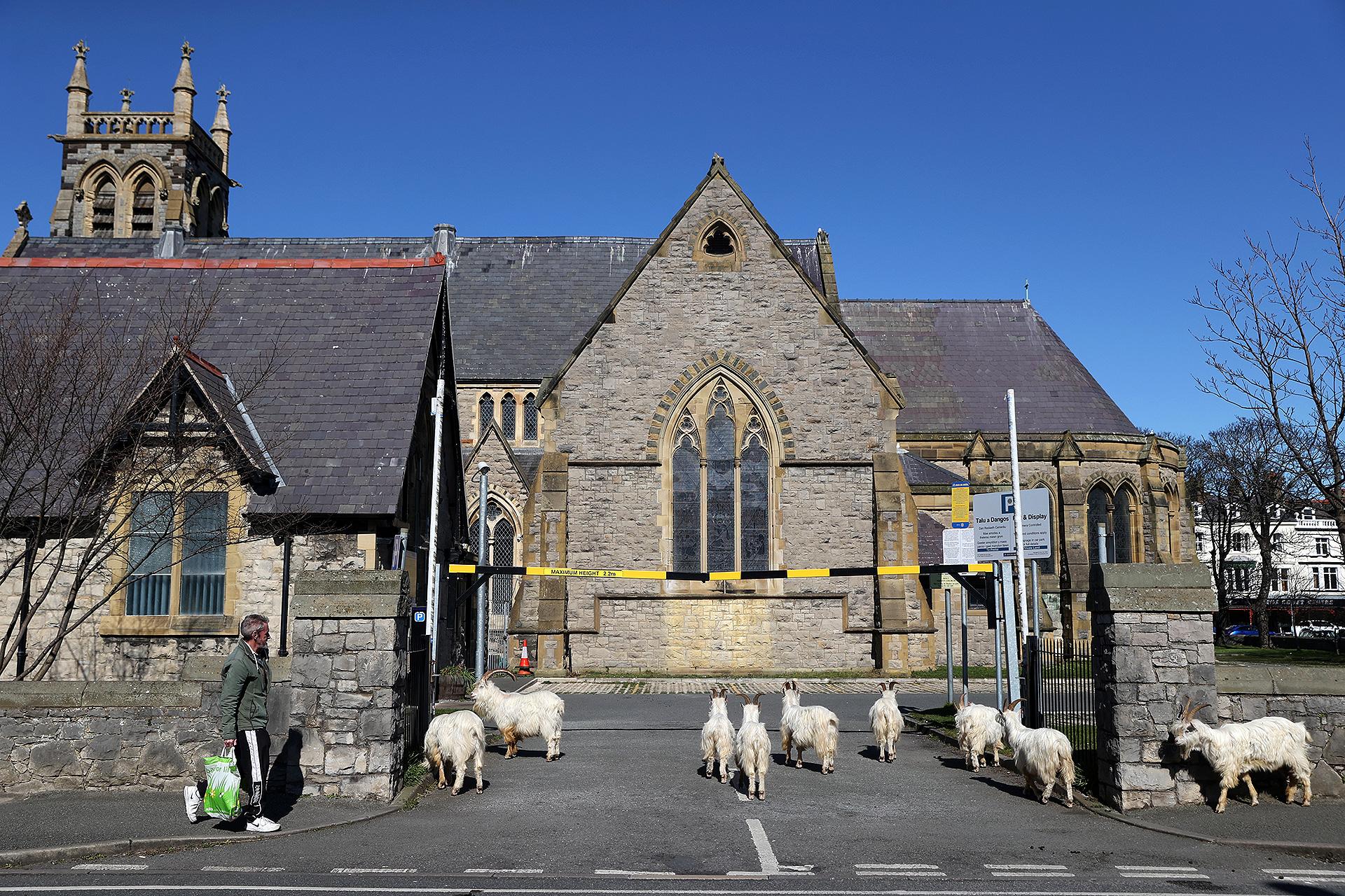 Muchas cabras en las calles del Reino Unido