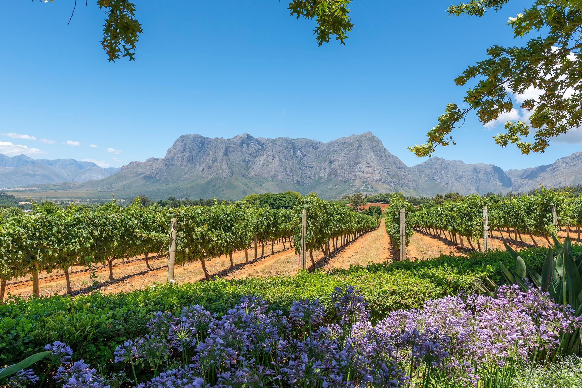 La región vinícola de Sudáfrica ofrece hermosos paisajes. Los tours de cata de vinos a menudo tienen un precio alto. Pero a las afueras de Ciudad del Cabo, la región vinícola de Cape Winelands en Sudáfrica ofrece muestras económicas de vinos y cocina locales rodeados de hermosos paisajes