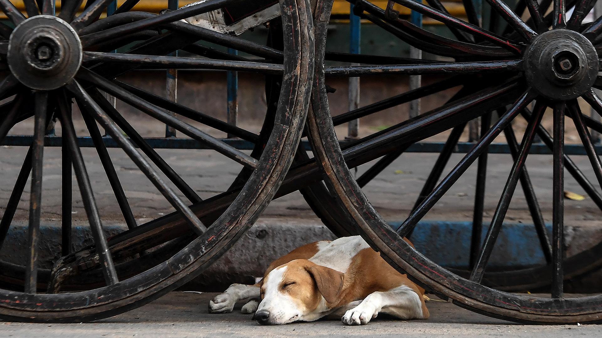 Un perro duerme bajo una carreta en India