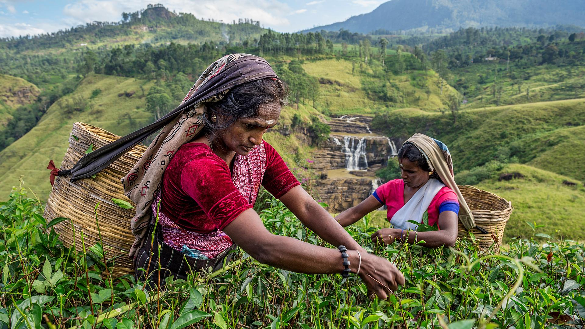Dos mujeres recogen té en cerca de Saint Clair Falls, en Sri Lanka. Ami Vitale, 2015