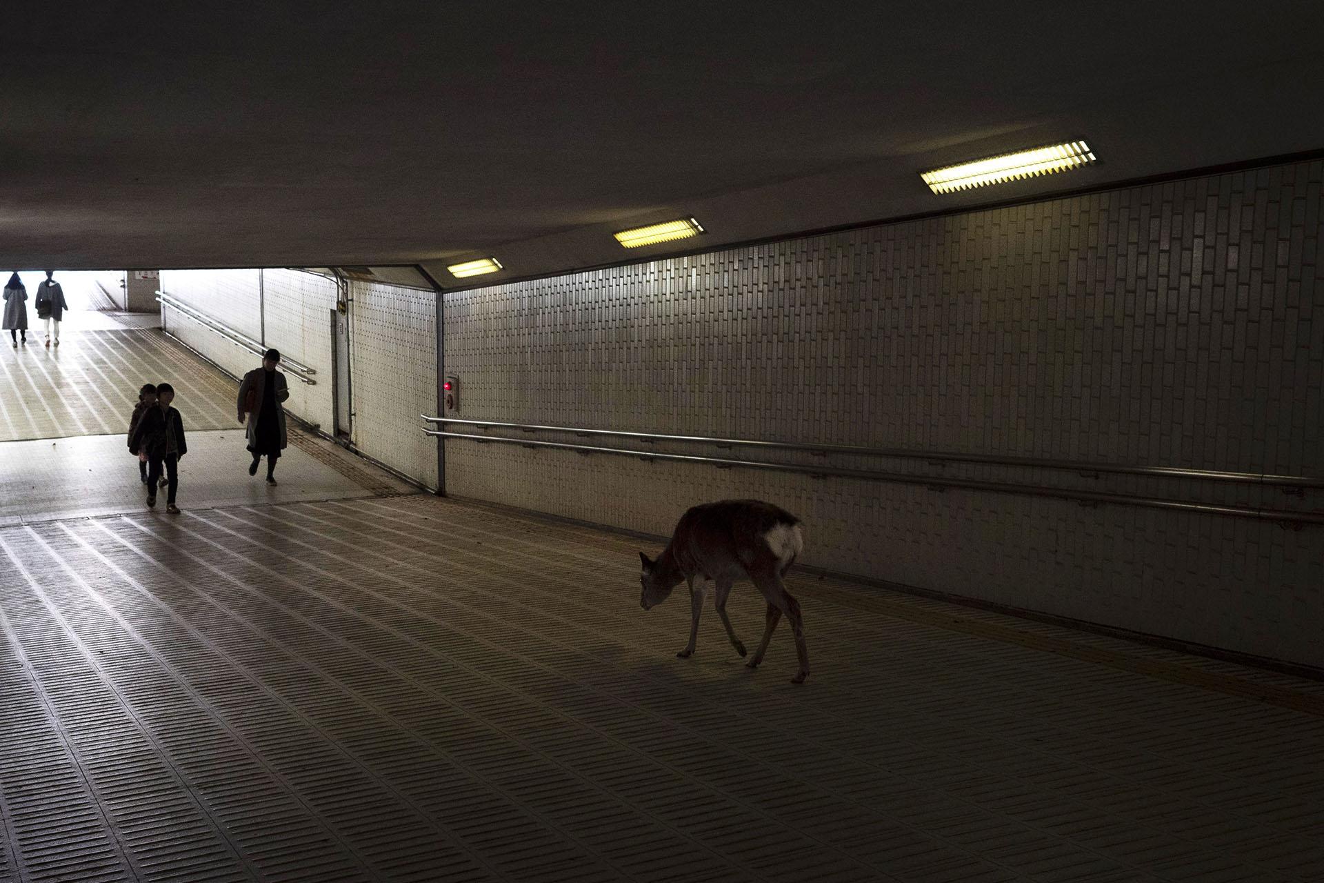 Más de 1000 ciervos deambulan libres en la antigua capital de Japón. A pesar de la disminución del turismo en la ciudad, estos animales salvajes están bien sin golosinas de los turistas, según un grupo de protección de venados. (Foto AP / Jae C. Hong)