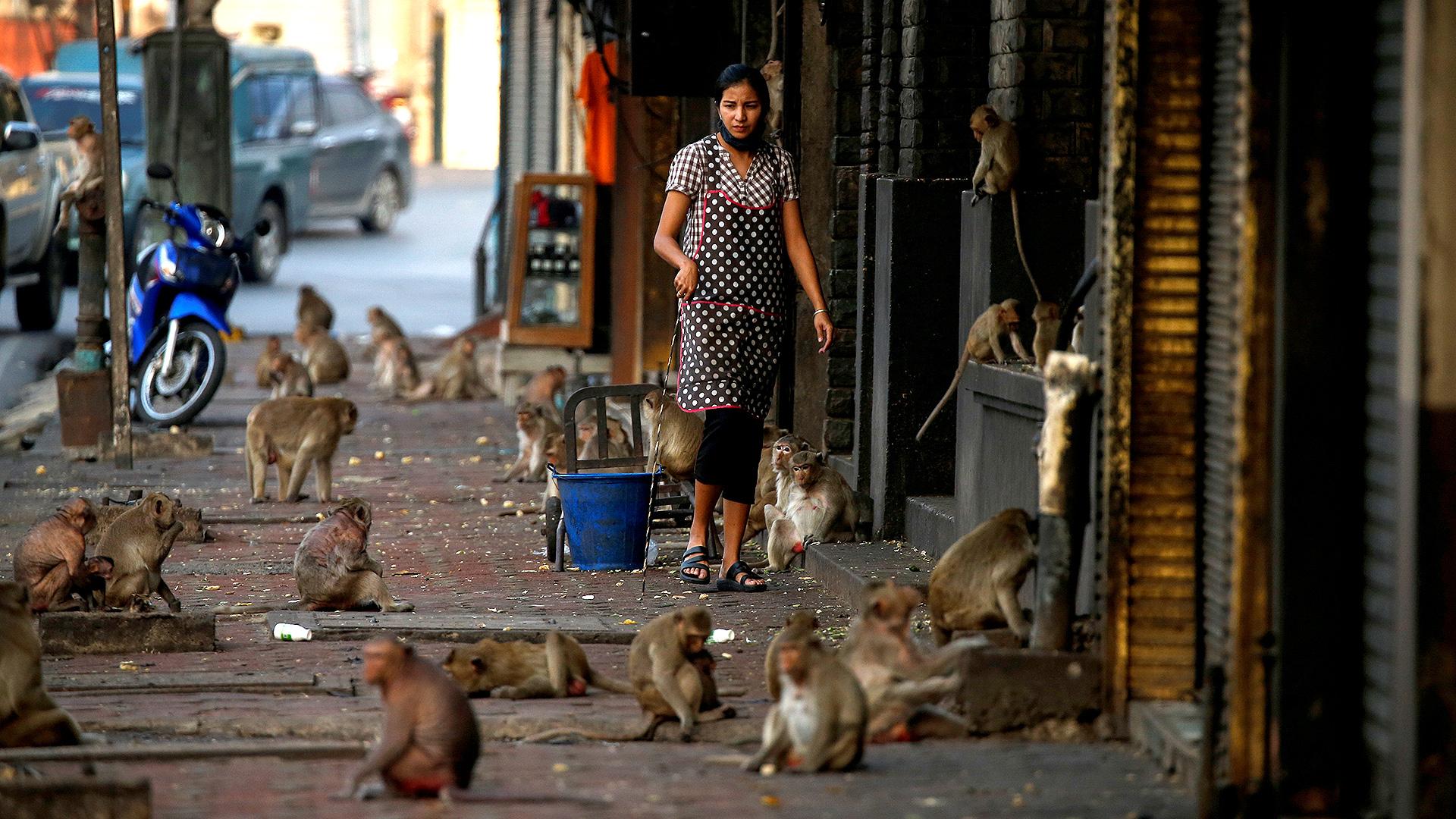 Los monos, hambrientos, llenaron las calles de Tailandia