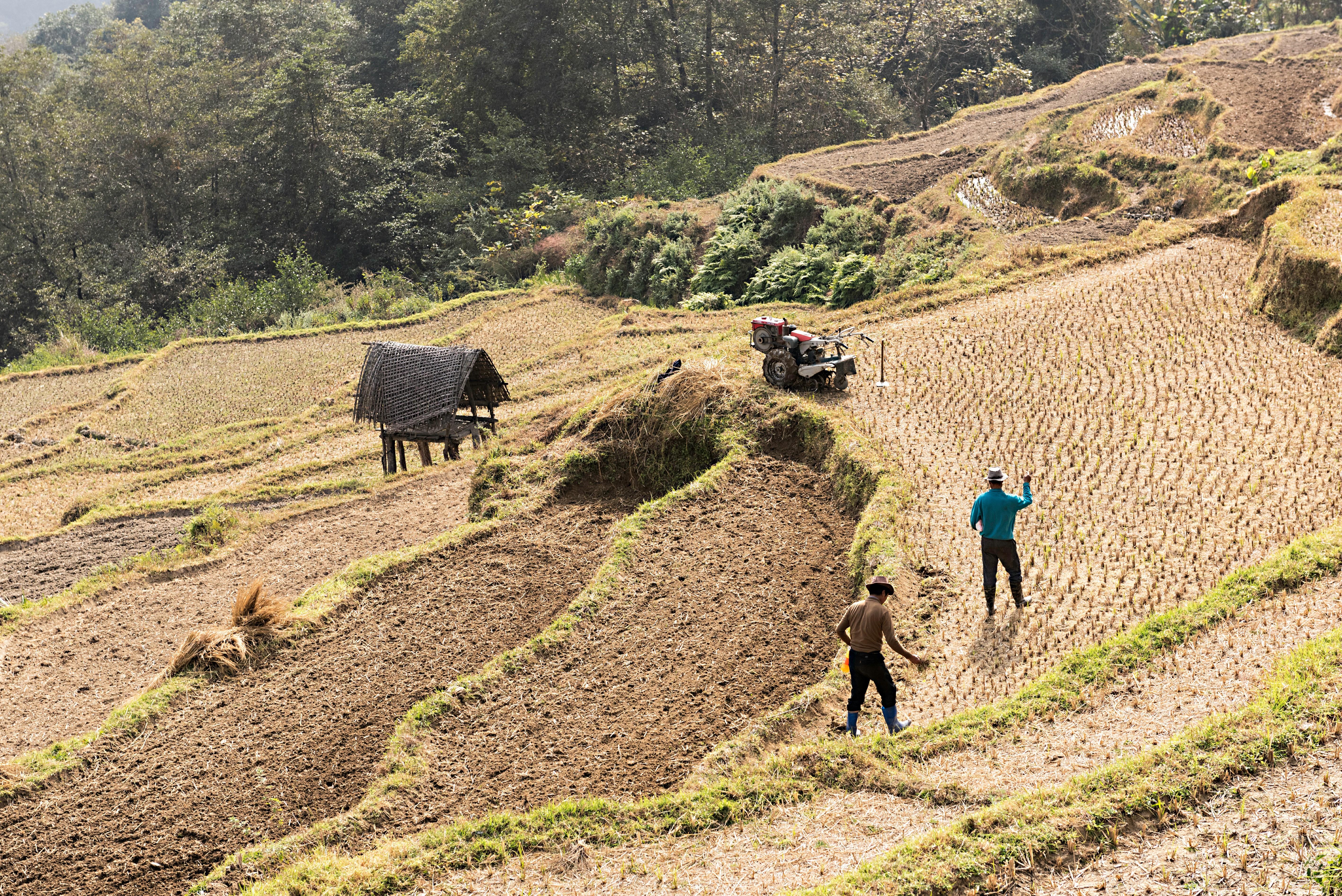 La siembra de arroz es una de las principales actividades agrícolas que se practican