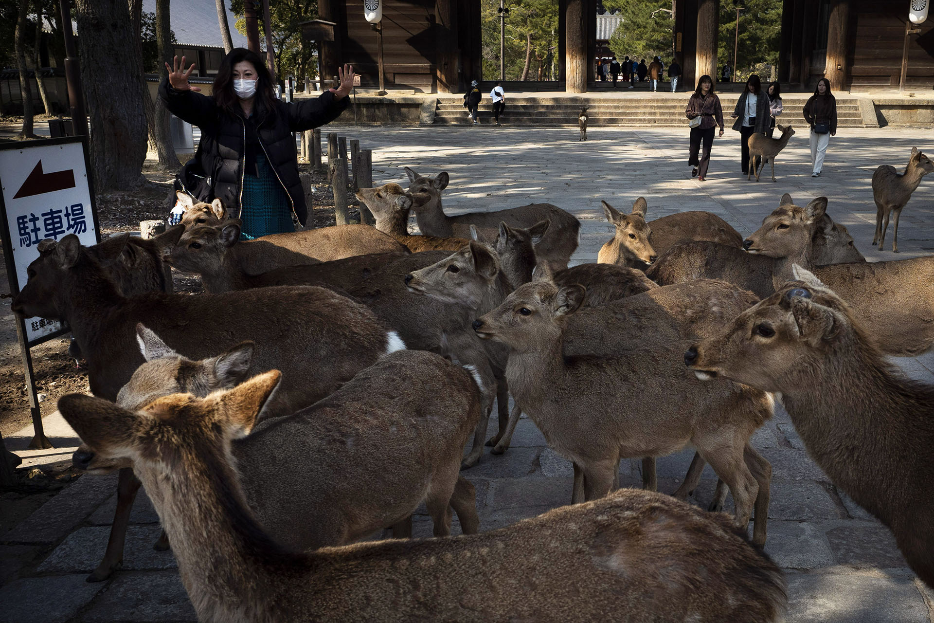 Rodeada de ciervos, una turista muestra sus manos vacías después de alimentarlos con galletas, golosinas hechas principalmente con harina de trigo y salvado de arroz, cerca del templo Todaiji en Nara, Japón (AP Photo / Jae C. Hong)