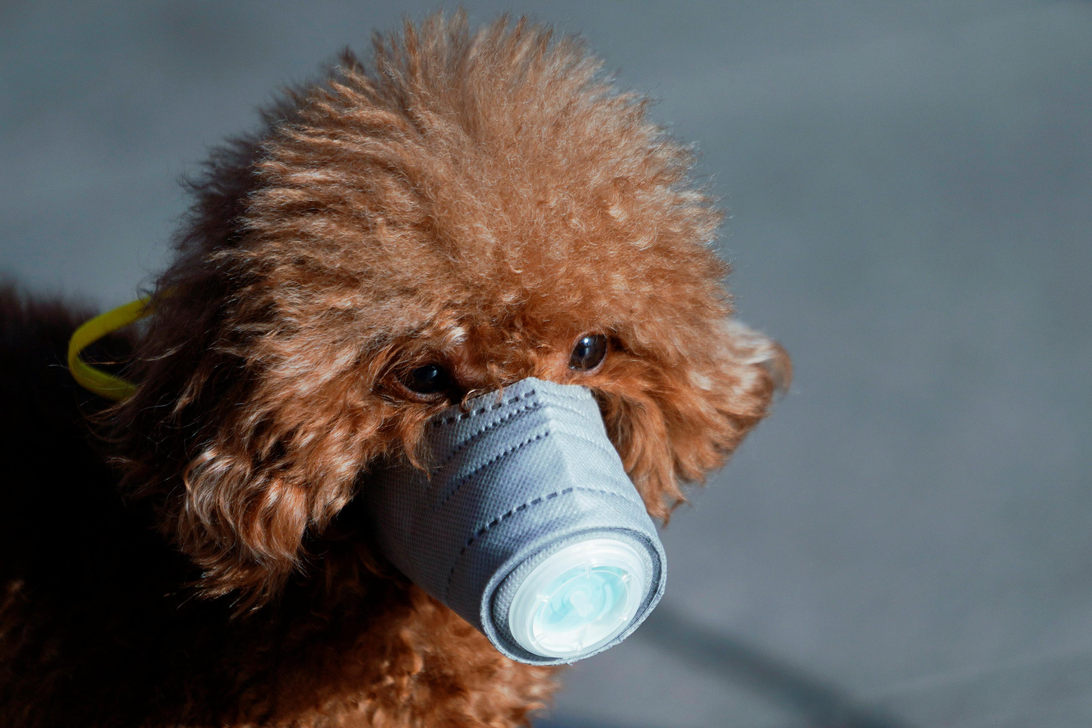 Las mascotas con protección son una postal habitual en Shanghái (Reuters)