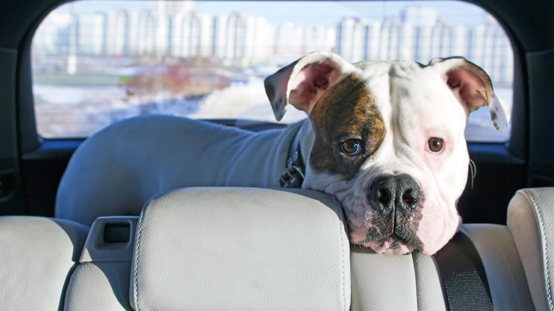 """En la Provincia de Buenos Aires, la Ley 13.637 establece que los animales deberán ser transportados en el asiento trasero y atados. La Ley 2.148 de tránsito de CABA también prohíbe a los conductores """"transportar animales sueltos""""."""